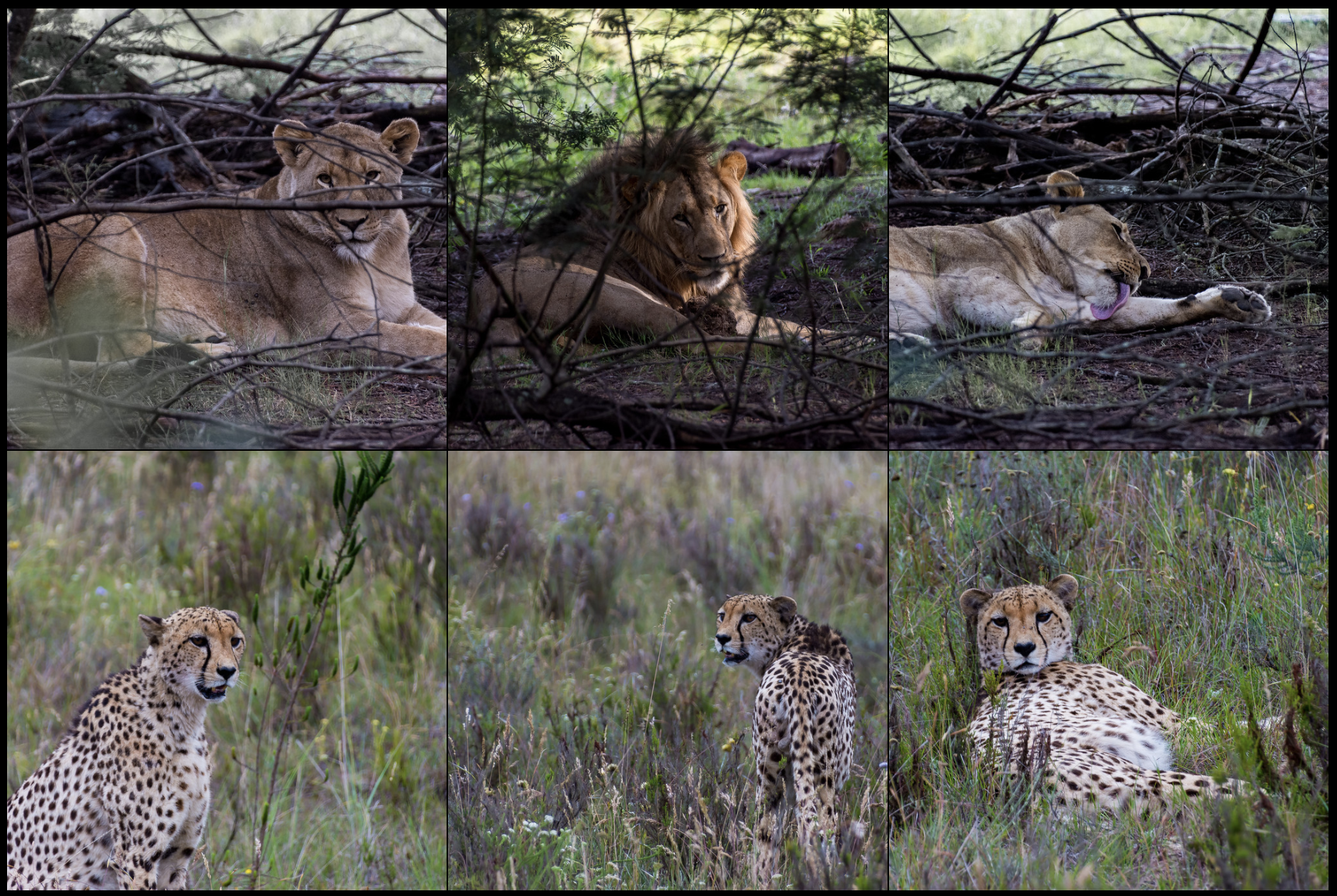A grid photo showing three pictures of lions across the top and three pictures of a cheetah across the bottom