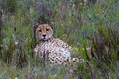 a cheetah lounging in the tall grass of South Africa